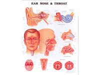 Anatomical Chart: Ear, Nose & Throat