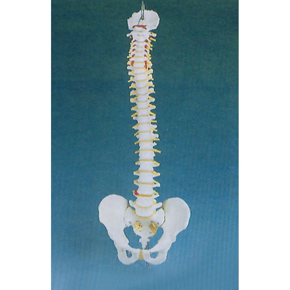 Basic Spine Anatomical Model