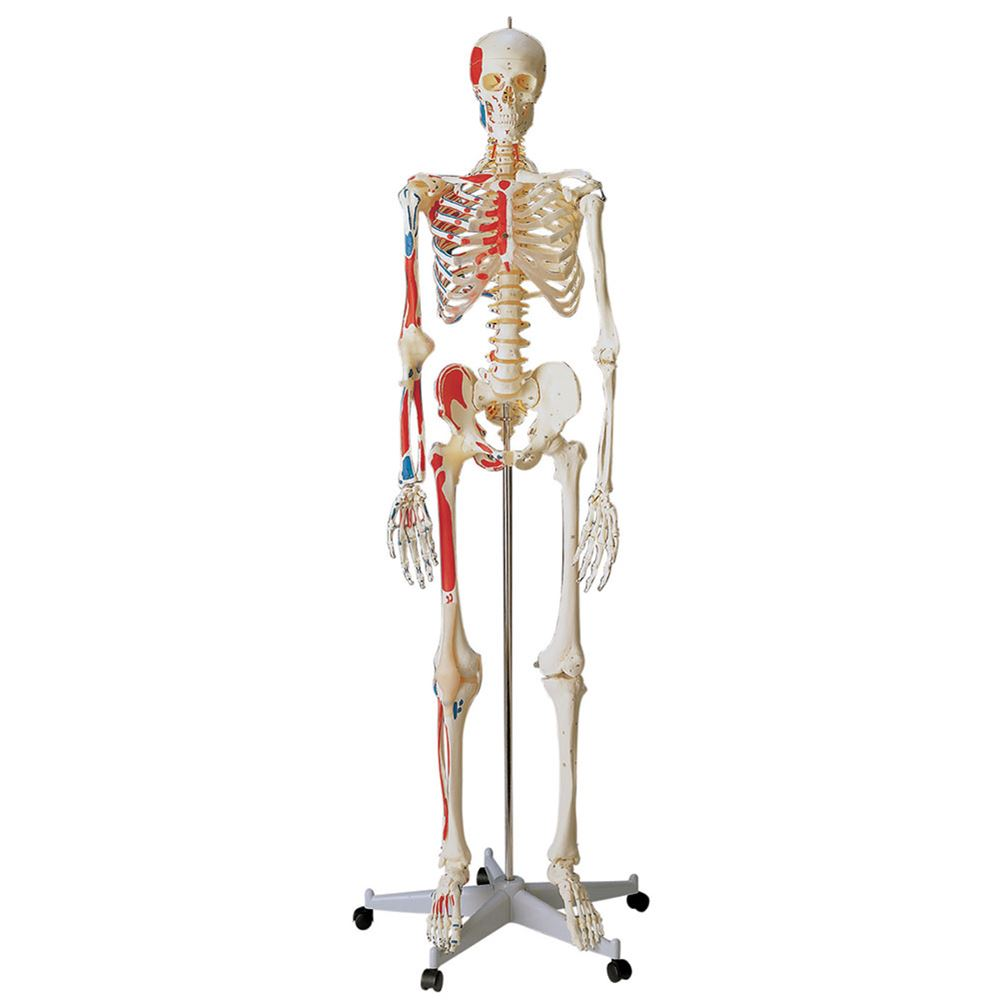Special Human Skeleton Anatomical Model