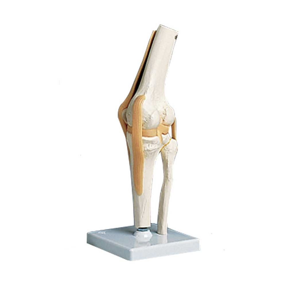Functional knee joint anatomical model ccuart Images